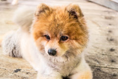 The Brown Pomeranian sit down Royalty Free Stock Photo