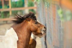 Brown ponies Stock Photo