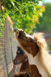 Brown ponies Royalty Free Stock Photography