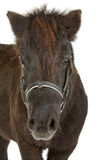 Brown pony. Portrait of brown pony isolated on white background Royalty Free Stock Image