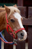 Brown Pony. Pony is most commonly a certain breed of small horse, generally of northern European origin Stock Images