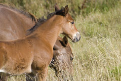 Brown Pony. A young Colt and it's mother graze and look on in a field near San Luis Obispo, California Royalty Free Stock Photography