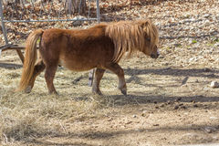 Brown-Pony Lizenzfreies Stockfoto