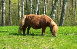 Brown pony with a big belly eating green grass in a meadow royalty free stock images