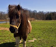 Brown Pony. A cute, small pony stands quietly in a rural farm setting, its mane glistening in the sunlight of early spring Royalty Free Stock Photo
