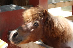 Brown pony Stock Photography
