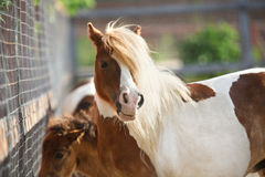 Brown pony face Stock Photo