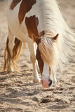 Brown pony face Royalty Free Stock Images
