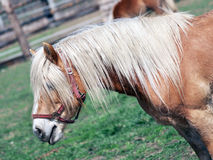 Brown pony in field royalty free stock photography