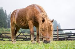Brown pony grazing Royalty Free Stock Photography