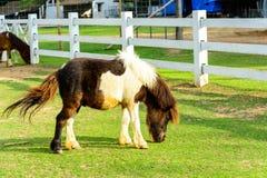 Brown pony Stock Photos