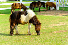 Brown pony Royalty Free Stock Images