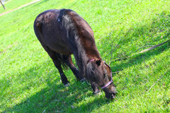 Brown pony grazing Stock Photos