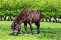 Brown pony grazing Royalty Free Stock Image