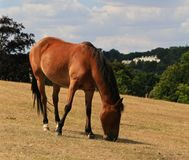 New Forest Pony grazing Royalty Free Stock Photography