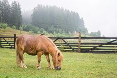 Brown pony grazing. In the mountain Royalty Free Stock Photos