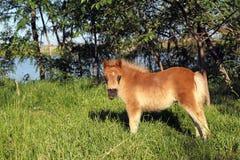 Brown pony horse baby Stock Photo