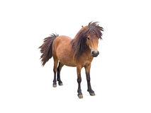 Brown pony horse. Standing isolated on white Royalty Free Stock Photos