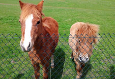 Brown pony horses on green grass near the fence. Brown cute pony horses on green grass waiting near the fence Stock Images