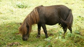 Brown pony or little horse eating grass meadow. Brown pony or little horse eating grass in the meadow stock video footage