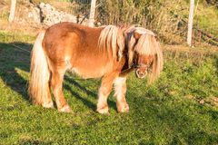 brown pony looking at camera stock photography