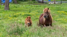 Brown-Pony mit Fohlen Lizenzfreies Stockbild