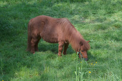 Brown Pony on a pasture Stock Image