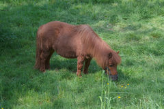 Brown Pony on a pasture Royalty Free Stock Photos