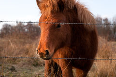 Brown pony on pasture Stock Photography