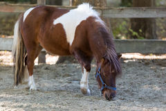 Brown pony stands quietly in a corral on the farm Stock Images