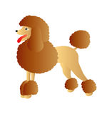 Brown poodle Royalty Free Stock Image
