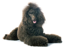 Brown poodle Stock Photos