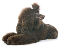 Brown poodle Stock Photography
