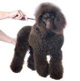 Brown poodle and comb Royalty Free Stock Image