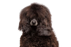 Brown poodle dog on isolated Black background stock photography