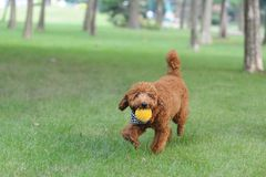 Brown poodle dog running Stock Image