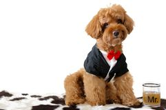 A brown poodle dog wearing tuxedo with a glass of drink. stock photo