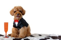 A brown poodle dog wearing tuxedo with a red color wine glass. stock photo