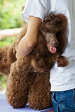Brown The poodle Stock Photo