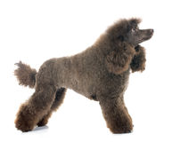Brown poodle Stock Image