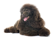Brown poodle Stock Images