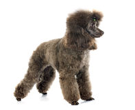 Brown poodle Royalty Free Stock Photo