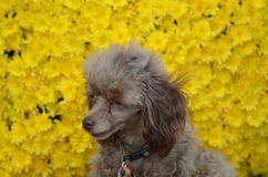 Brown Poodle Pup Sitting with Yellow Flowers Stock Image