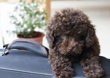 Brown Poodle on suitcase Royalty Free Stock Photos