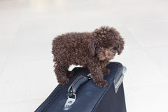 Brown Poodle on suitcase Stock Images