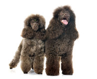 Brown poodles Royalty Free Stock Photo