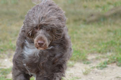 Brown Portuguese Water Dog royalty free stock photos