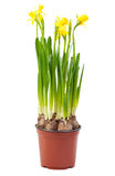 Brown pot of Narcissus Royalty Free Stock Photos