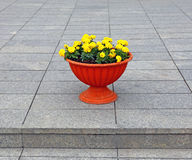 Brown pot with yellow flowers marigolds Stock Images