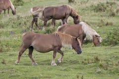 Brown-pottoka Pferde Lizenzfreie Stockfotografie